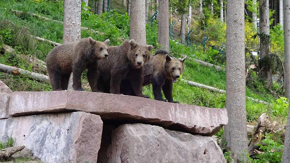 Alternativer Wolf- und Bärenpark - Bad-Rippoldsau-Schapbach